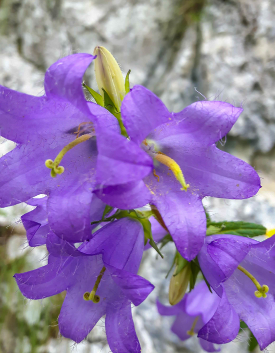Chimney bellflower growing in Plitvice Lakes and National Park Krka too