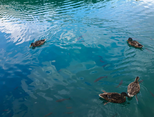 Ducks and fish in beautiful turquoise lake of Plitvice