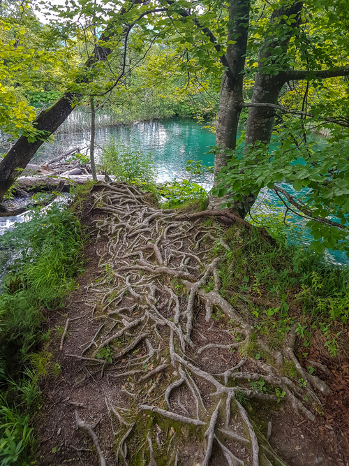Huge-roots-of-the-tree-in-Plitvice-Lakes