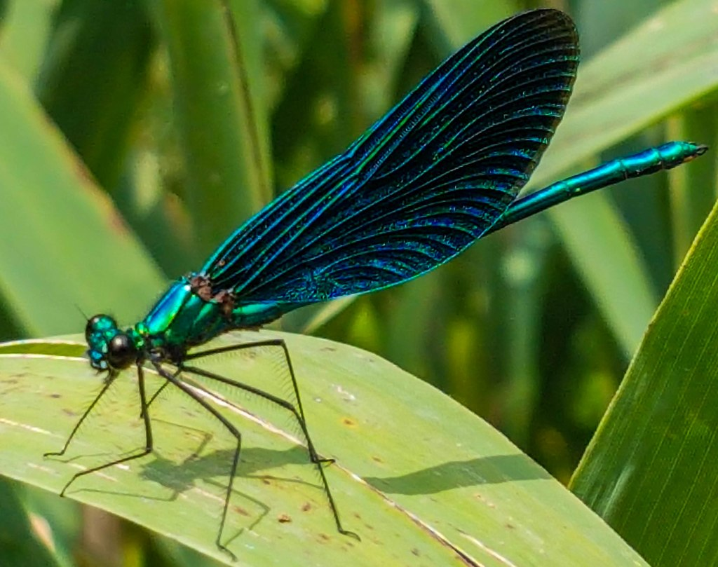 Damselfly with impressive colours in Plitvice Lakes National Park