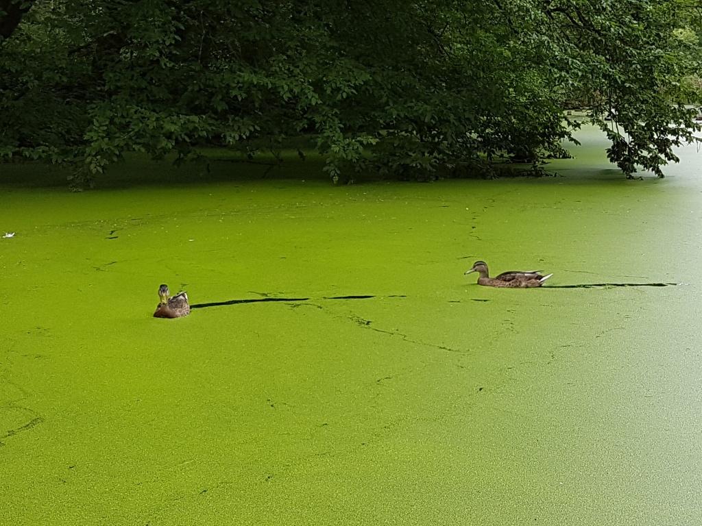 Duck in greenery on Het Nieuwe Meer Amsterdamse Bos