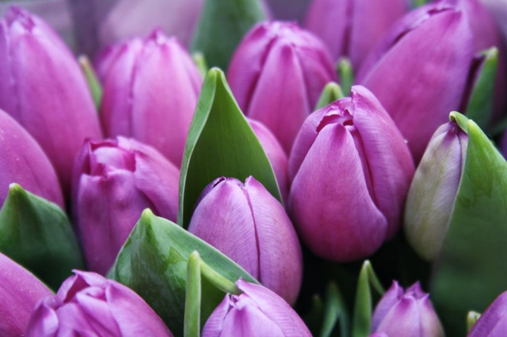 Amsterdam purple tulips Holland