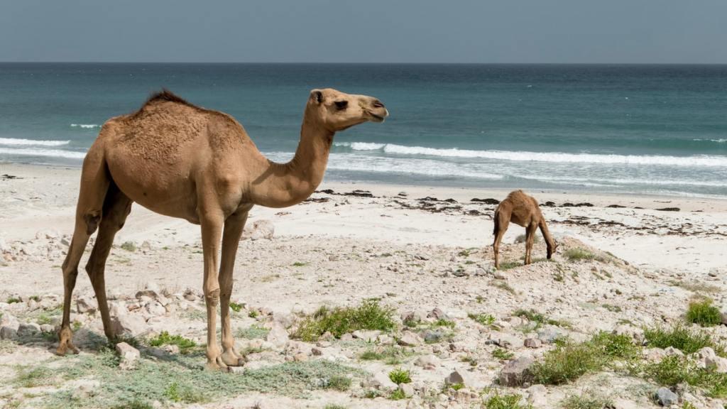Deve na plaži u državi Oman