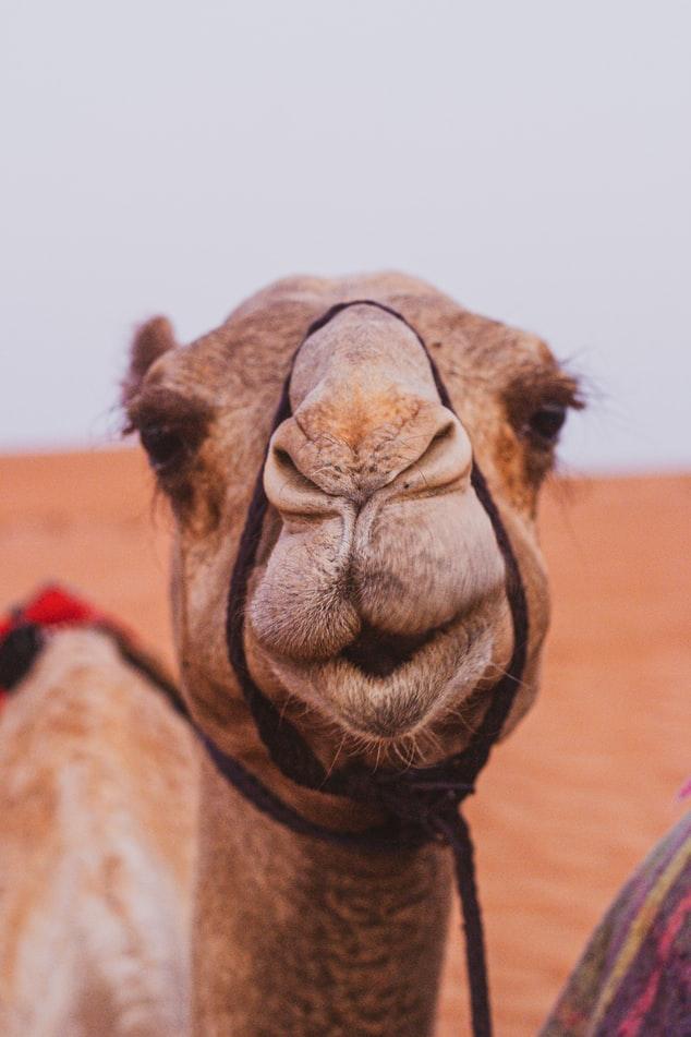 Smijesna slika deve u Omanu